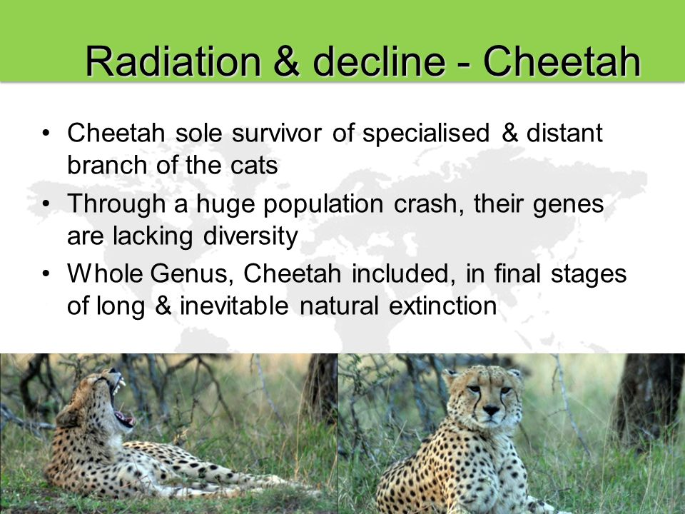 Radiation & decline - Cheetah Cheetah sole survivor of specialised & distant branch of the cats Through a huge population crash, their genes are lacking diversity Whole Genus, Cheetah included, in final stages of long & inevitable natural extinction