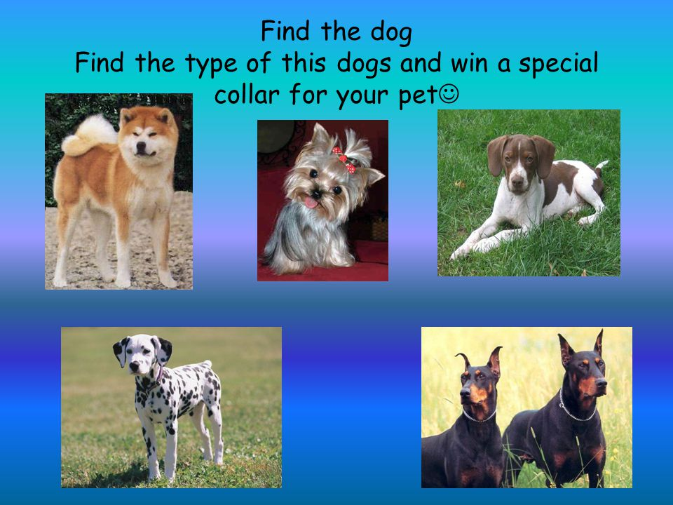 Find the dog Find the type of this dogs and win a special collar for your pet