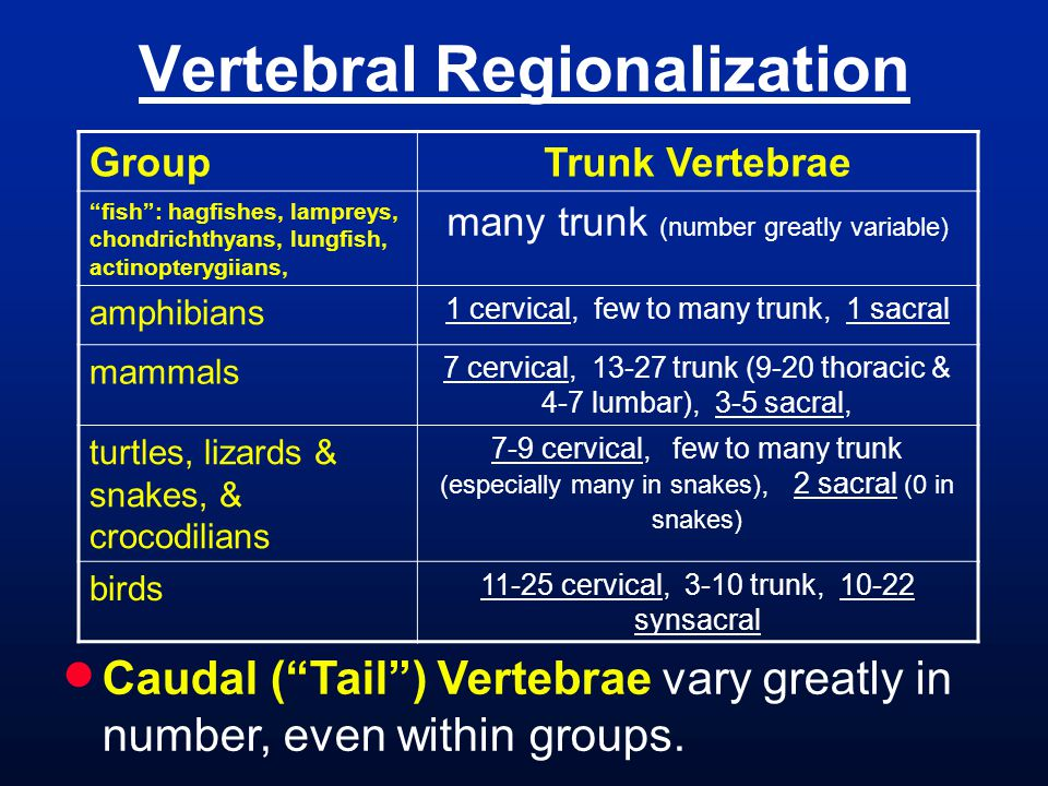 "Vertebral Regionalization GroupTrunk Vertebrae ""fish"": hagfishes, lampreys, chondrichthyans, lungfish, actinopterygiians, many trunk (number greatly v"