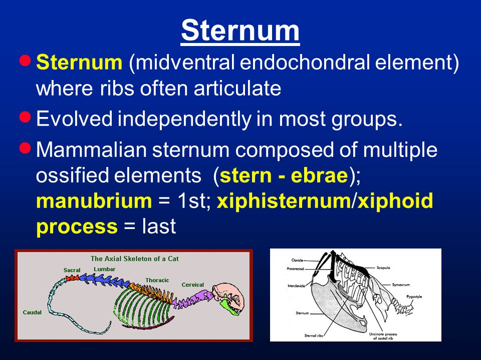 Sternum  Sternum (midventral endochondral element) where ribs often articulate  Evolved independently in most groups.  Mammalian sternum composed o