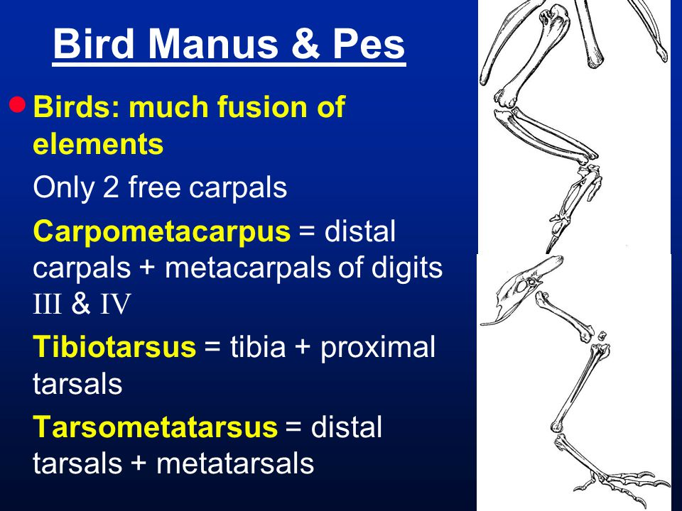  Birds: much fusion of elements Only 2 free carpals Carpometacarpus = distal carpals + metacarpals of digits III & IV Tibiotarsus = tibia + proximal