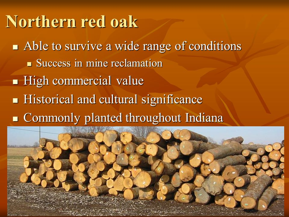 Northern red oak Able to survive a wide range of conditions Able to survive a wide range of conditions Success in mine reclamation Success in mine reclamation High commercial value High commercial value Historical and cultural significance Historical and cultural significance Commonly planted throughout Indiana Commonly planted throughout Indiana