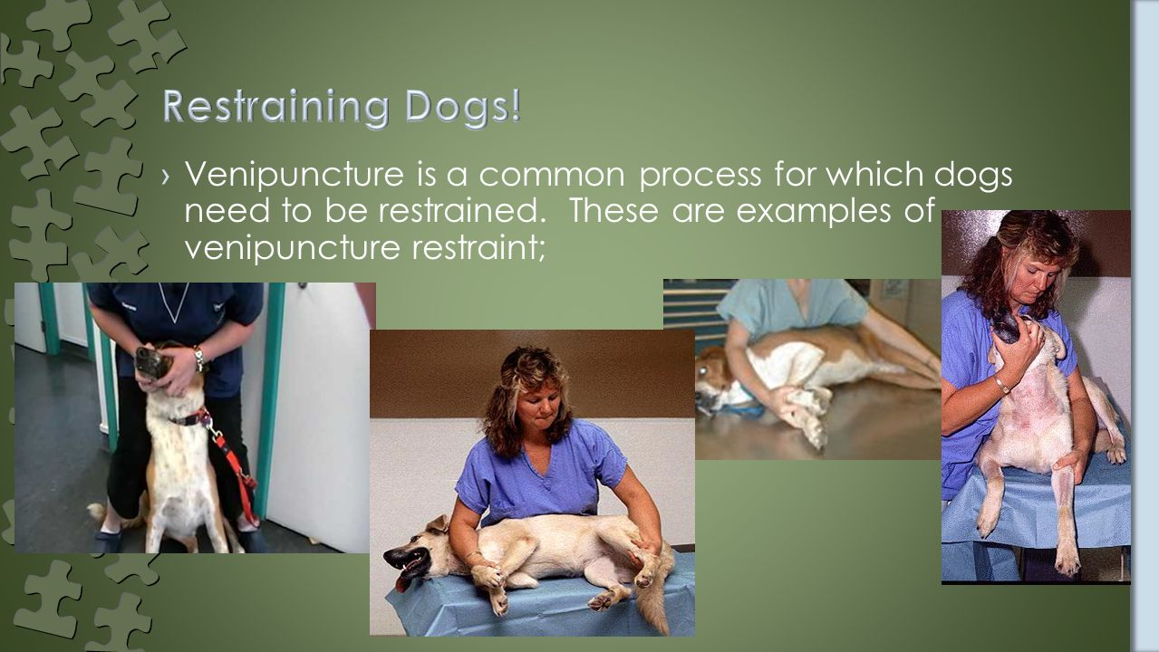 ›Venipuncture is a common process for which dogs need to be restrained.