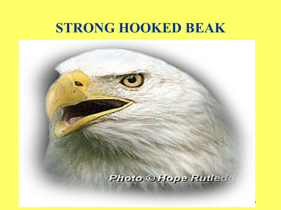 By Dr. Sunil Anand www.drsunilanand.com STRONG HOOKED BEAK