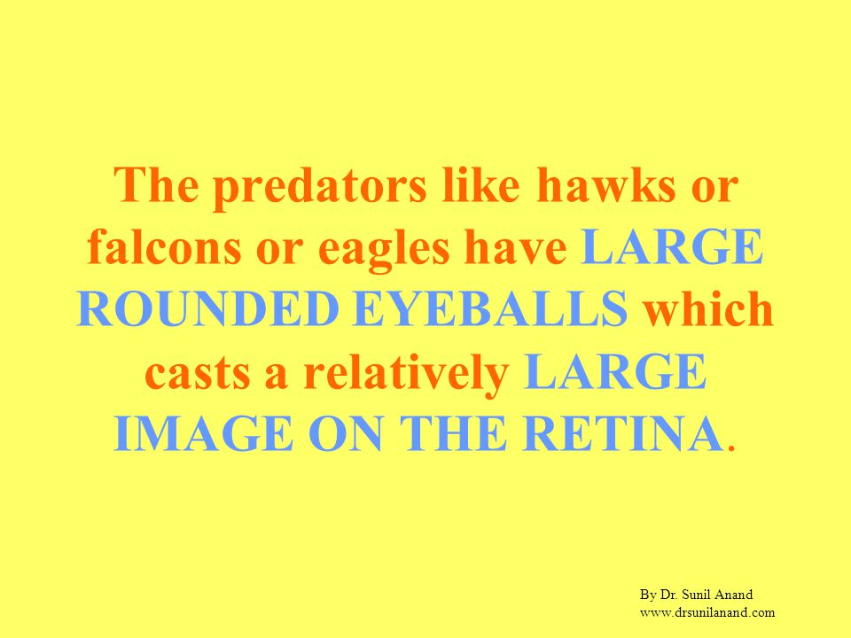 By Dr. Sunil Anand www.drsunilanand.com The predators like hawks or falcons or eagles have LARGE ROUNDED EYEBALLS which casts a relatively LARGE IMAGE