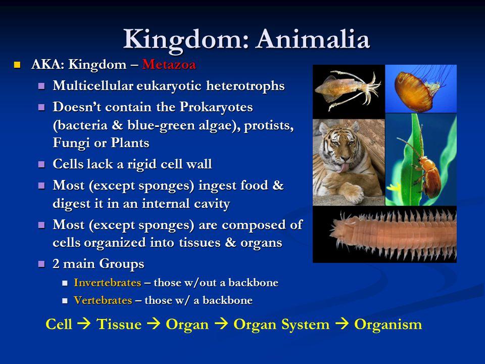 Kingdom: Animalia AKA: Kingdom – Metazoa AKA: Kingdom – Metazoa Multicellular eukaryotic heterotrophs Multicellular eukaryotic heterotrophs Doesn't contain the Prokaryotes (bacteria & blue-green algae), protists, Fungi or Plants Doesn't contain the Prokaryotes (bacteria & blue-green algae), protists, Fungi or Plants Cells lack a rigid cell wall Cells lack a rigid cell wall Most (except sponges) ingest food & digest it in an internal cavity Most (except sponges) ingest food & digest it in an internal cavity Most (except sponges) are composed of cells organized into tissues & organs Most (except sponges) are composed of cells organized into tissues & organs 2 main Groups 2 main Groups Invertebrates – those w/out a backbone Invertebrates – those w/out a backbone Vertebrates – those w/ a backbone Vertebrates – those w/ a backbone Cell  Tissue  Organ  Organ System  Organism