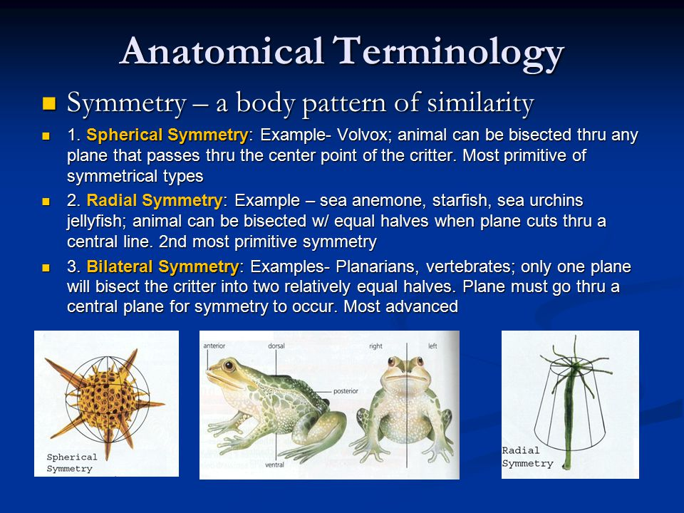 Anatomical Terminology Symmetry – a body pattern of similarity Symmetry – a body pattern of similarity 1. Spherical Symmetry: Example- Volvox; animal