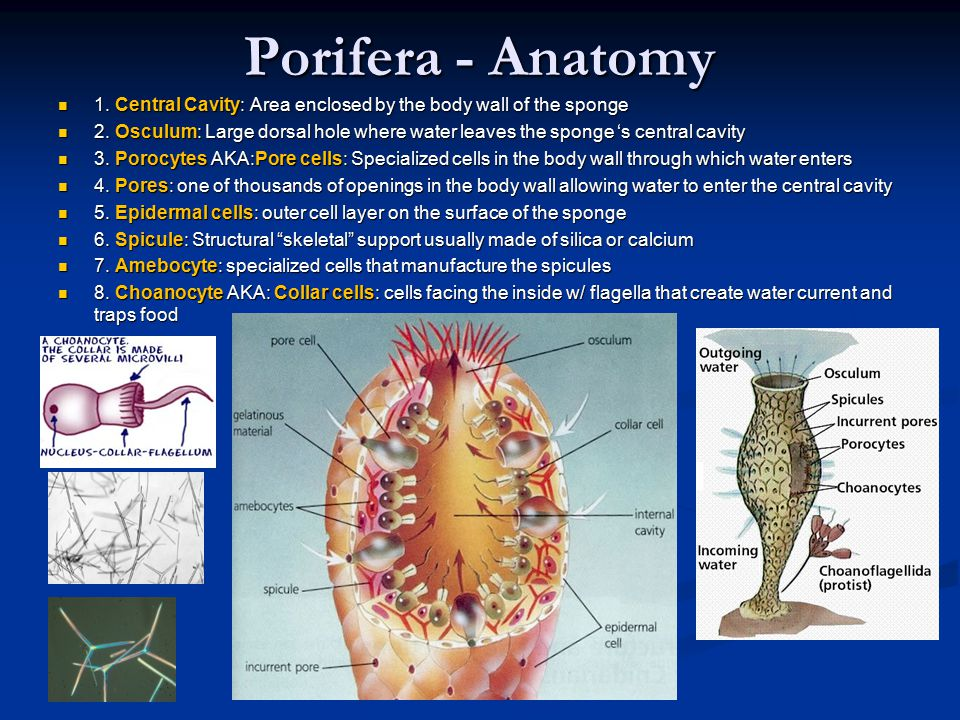 Porifera - Anatomy 1. Central Cavity: Area enclosed by the body wall of the sponge 1. Central Cavity: Area enclosed by the body wall of the sponge 2.