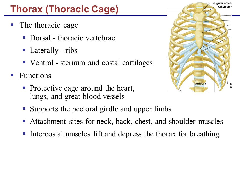Thorax (Thoracic Cage)  The thoracic cage  Dorsal - thoracic vertebrae  Laterally - ribs  Ventral - sternum and costal cartilages  Functions  Pr
