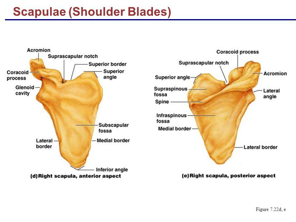 Scapulae (Shoulder Blades) Figure 7.22d, e
