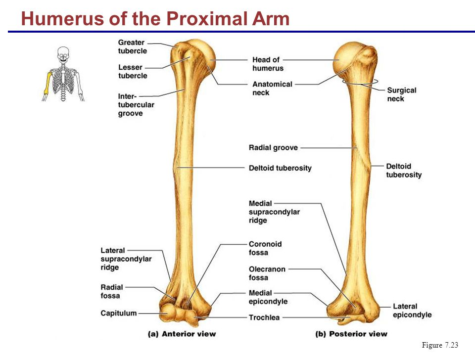 Humerus of the Proximal Arm Figure 7.23