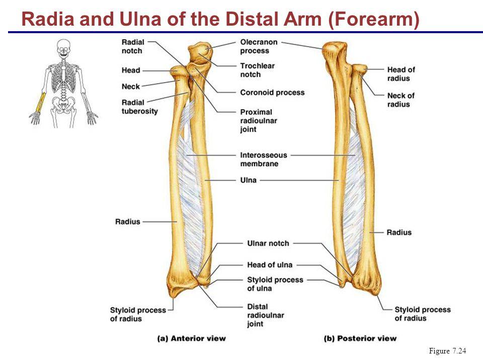 Radia and Ulna of the Distal Arm (Forearm) Figure 7.24