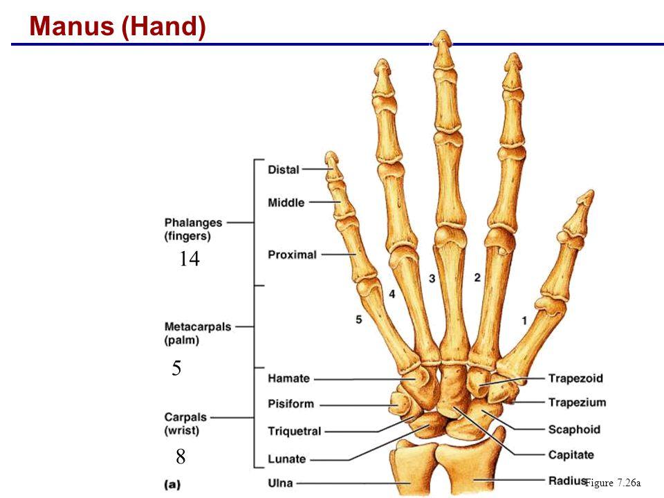 Manus (Hand) Figure 7.26a 14 5 8