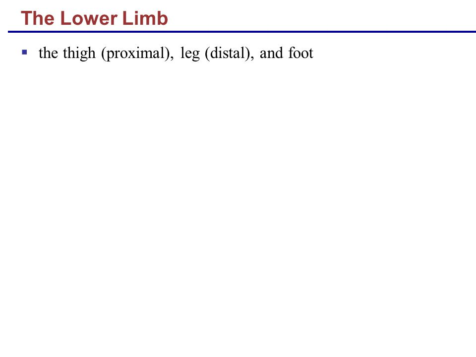 The Lower Limb  the thigh (proximal), leg (distal), and foot