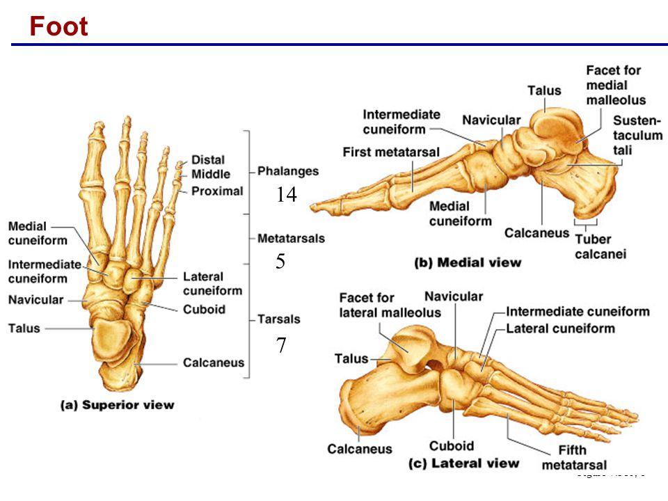 Foot Figure 7.31b, c 7 5 14