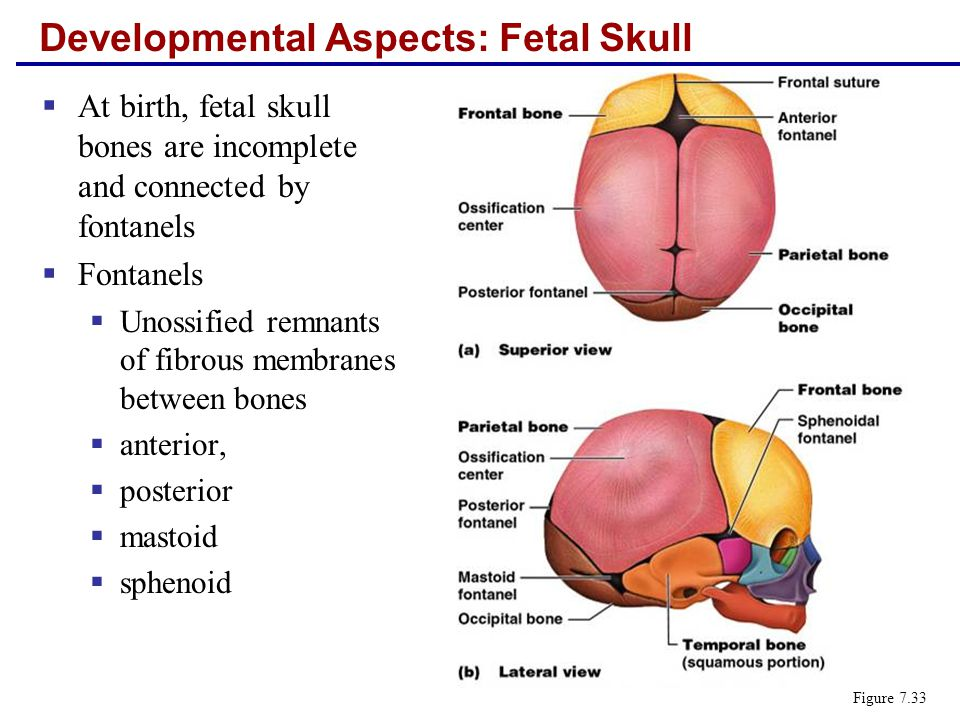 Developmental Aspects: Fetal Skull  At birth, fetal skull bones are incomplete and connected by fontanels  Fontanels  Unossified remnants of fibrou
