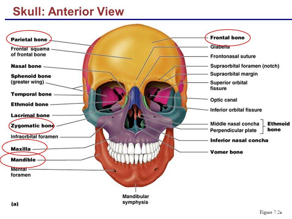 Skull: Anterior View Figure 7.2a