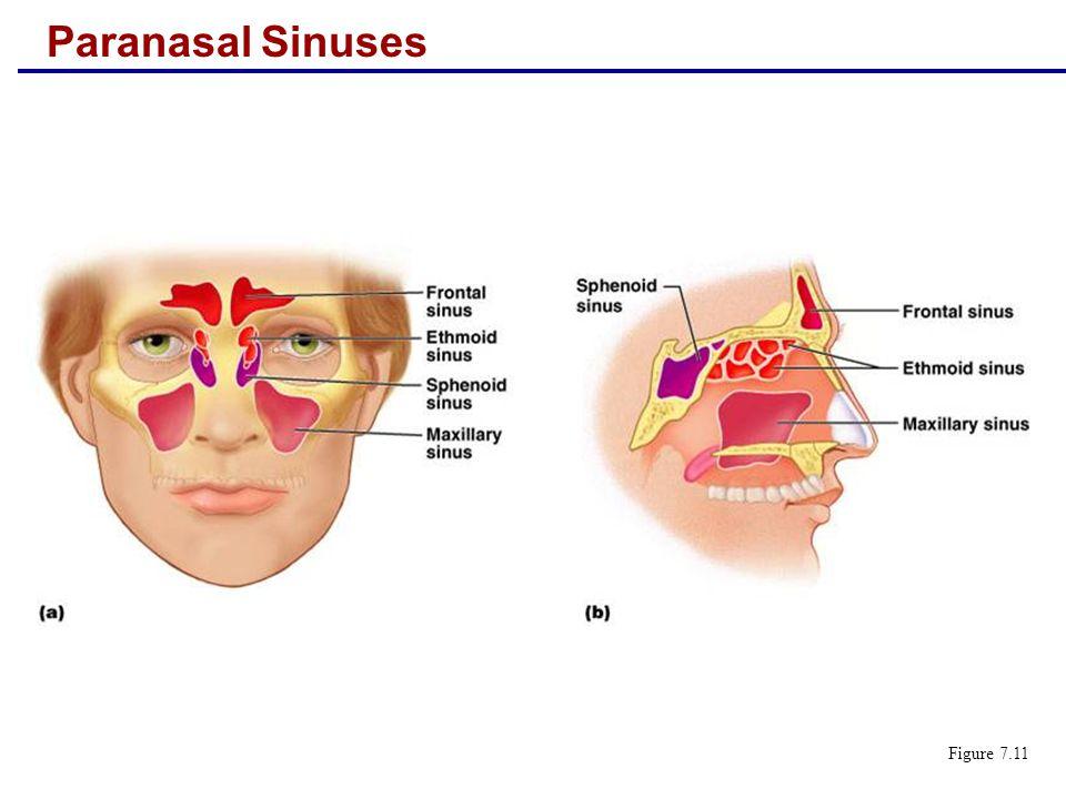 Paranasal Sinuses Figure 7.11