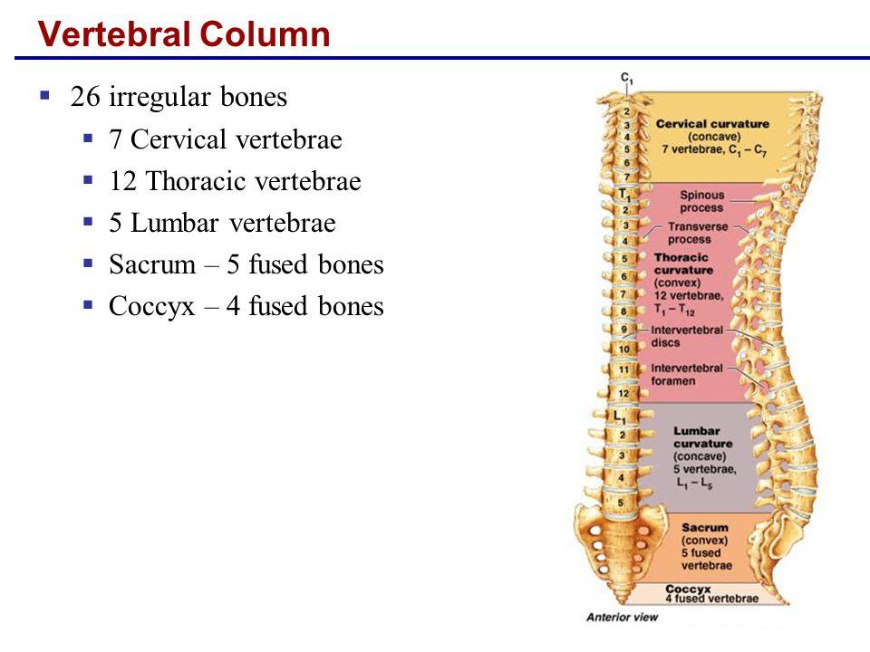 Vertebral Column  26 irregular bones  7 Cervical vertebrae  12 Thoracic vertebrae  5 Lumbar vertebrae  Sacrum – 5 fused bones  Coccyx – 4 fused