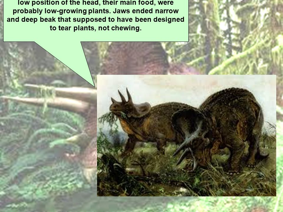 Triceratops were herbivorous, and because of their low position of the head, their main food, were probably low-growing plants.