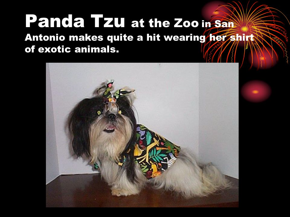 Panda Tzu at the Zoo in San Antonio makes quite a hit wearing her shirt of exotic animals.
