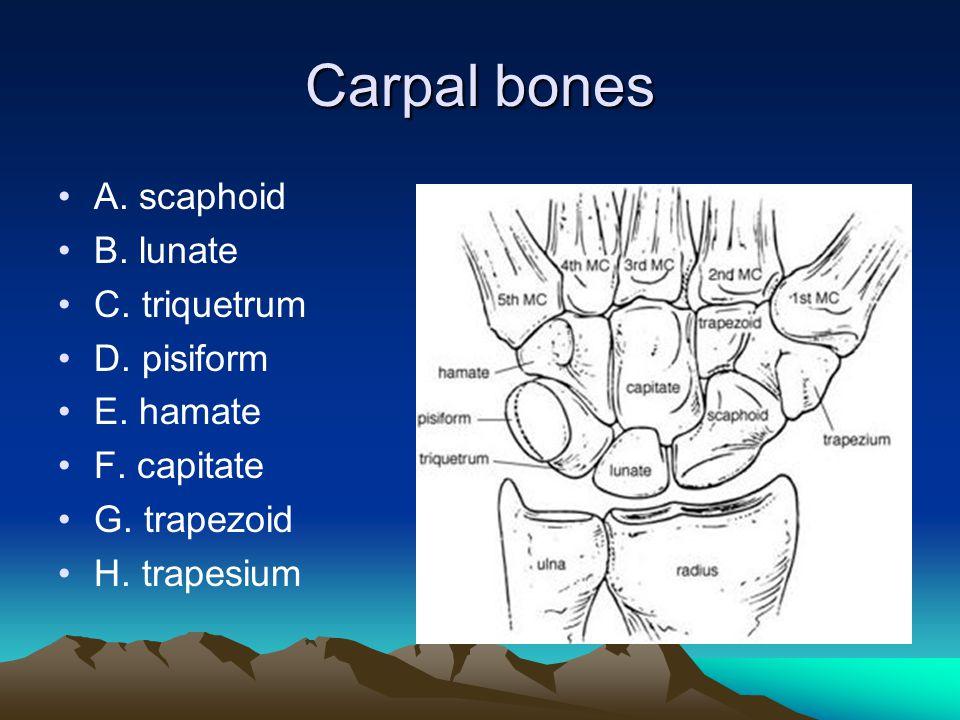 Carpal bones A. scaphoid B. lunate C. triquetrum D.