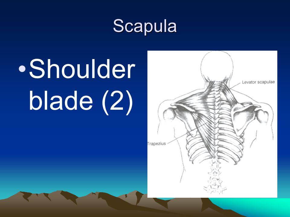 Scapula Shoulder blade (2)