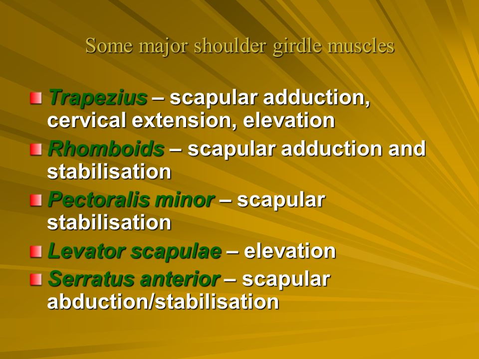 Some major shoulder girdle muscles Trapezius – scapular adduction, cervical extension, elevation Rhomboids – scapular adduction and stabilisation Pect