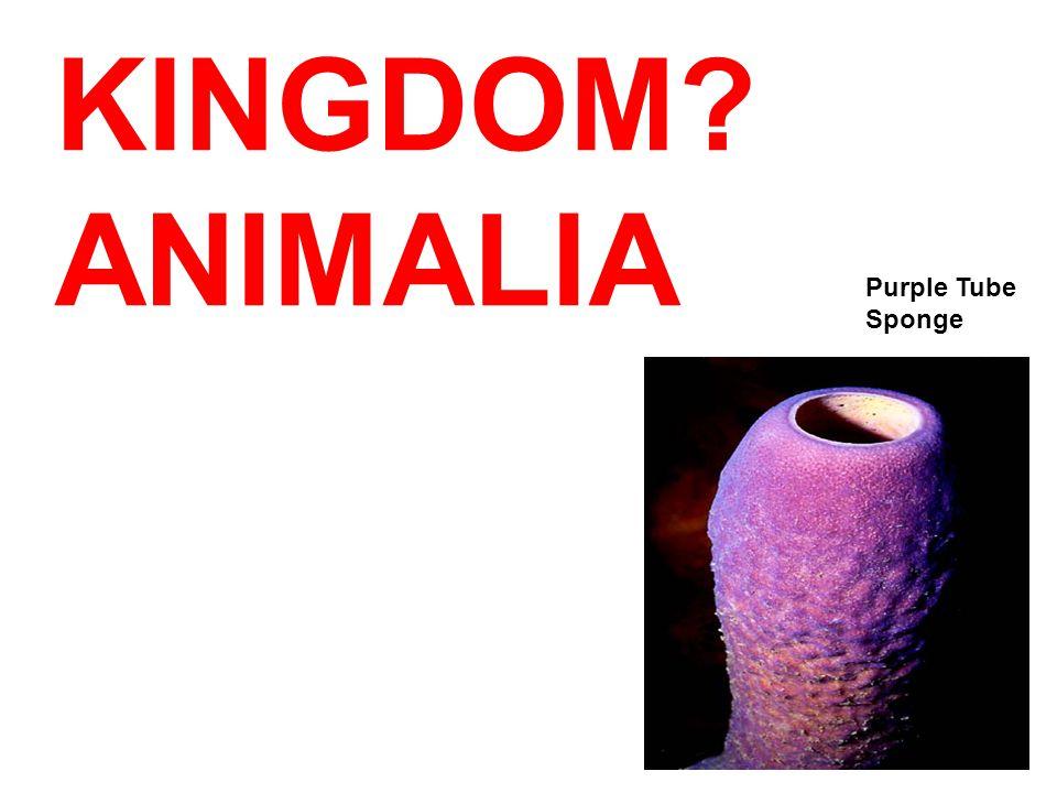 KINGDOM? Purple Tube Sponge ANIMALIA