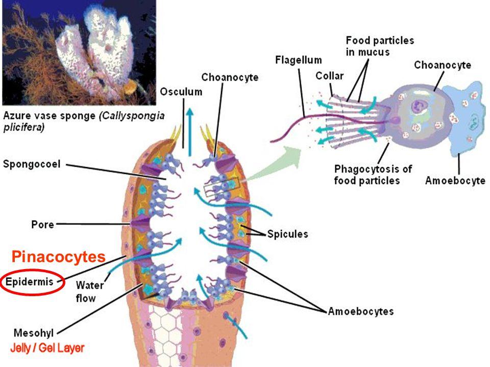 Pinacocytes