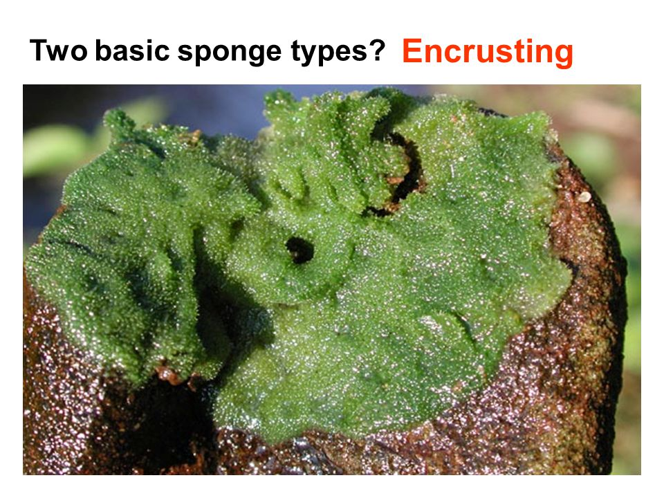 Two basic sponge types? Free-standing