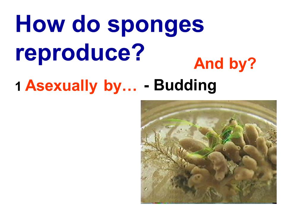 How do sponges reproduce 1 Asexually by… - Budding And by