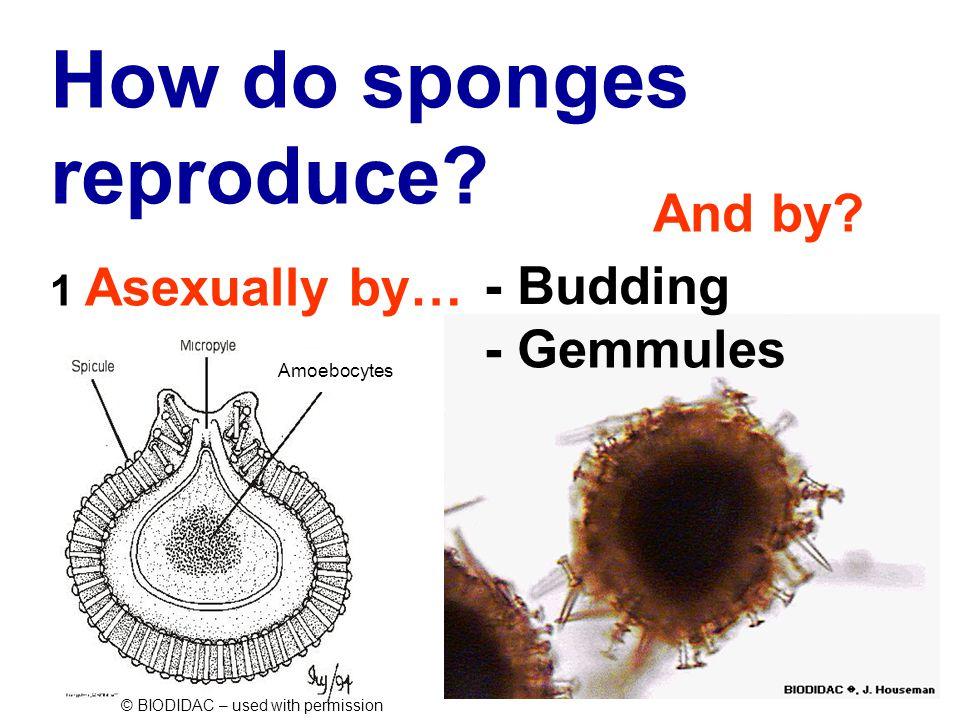 How do sponges reproduce.