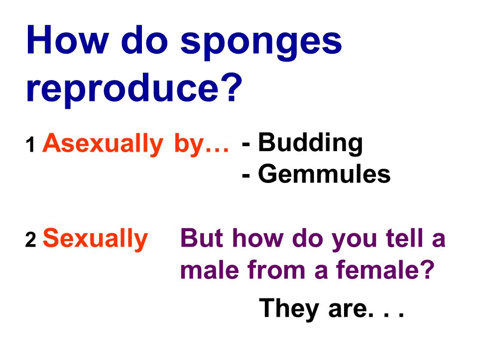 How do sponges reproduce. 2 SexuallyBut how do you tell a male from a female.