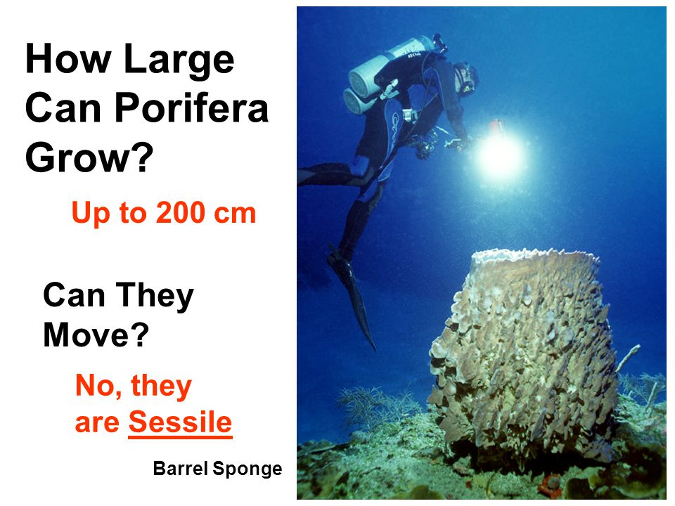 Barrel Sponge How Large Can Porifera Grow Up to 200 cm Can They Move No, they are Sessile