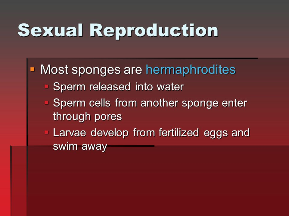 Sexual Reproduction  Most sponges are hermaphrodites  Sperm released into water  Sperm cells from another sponge enter through pores  Larvae devel