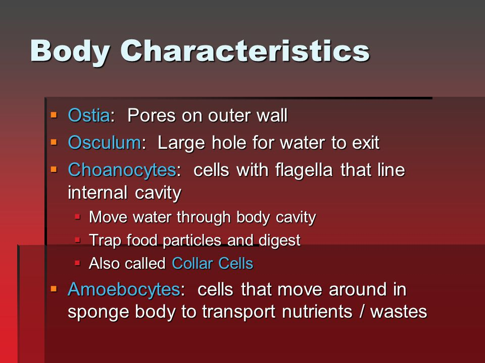 Body Characteristics  Ostia: Pores on outer wall  Osculum: Large hole for water to exit  Choanocytes: cells with flagella that line internal cavity