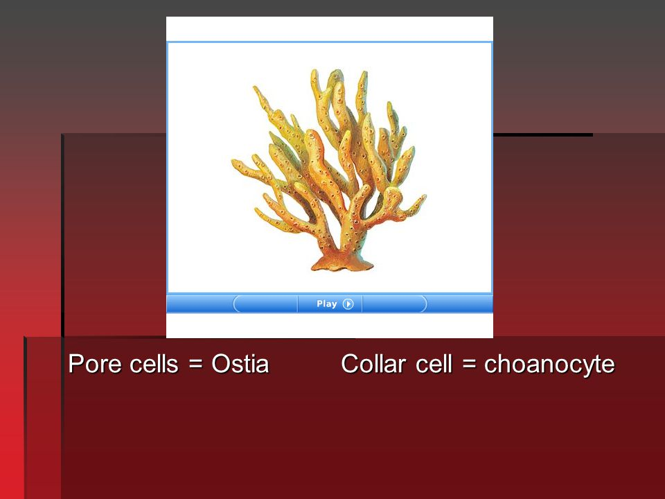 Pore cells = Ostia Collar cell = choanocyte
