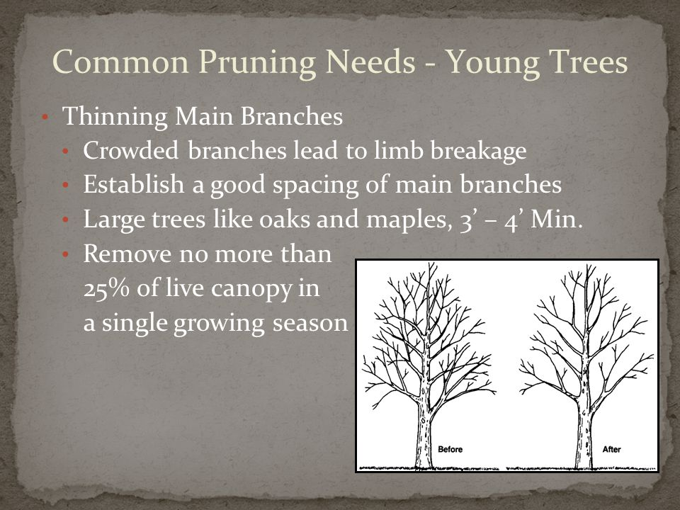 Thinning Main Branches Crowded branches lead to limb breakage Establish a good spacing of main branches Large trees like oaks and maples, 3' – 4' Min.