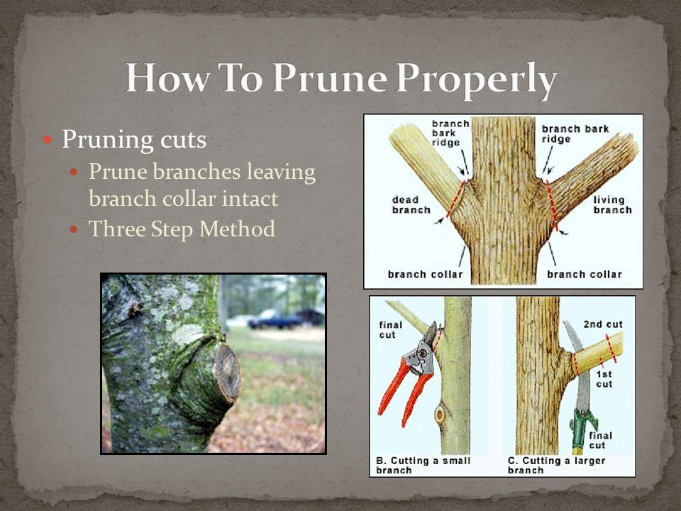 Pruning cuts Prune branches leaving branch collar intact Three Step Method