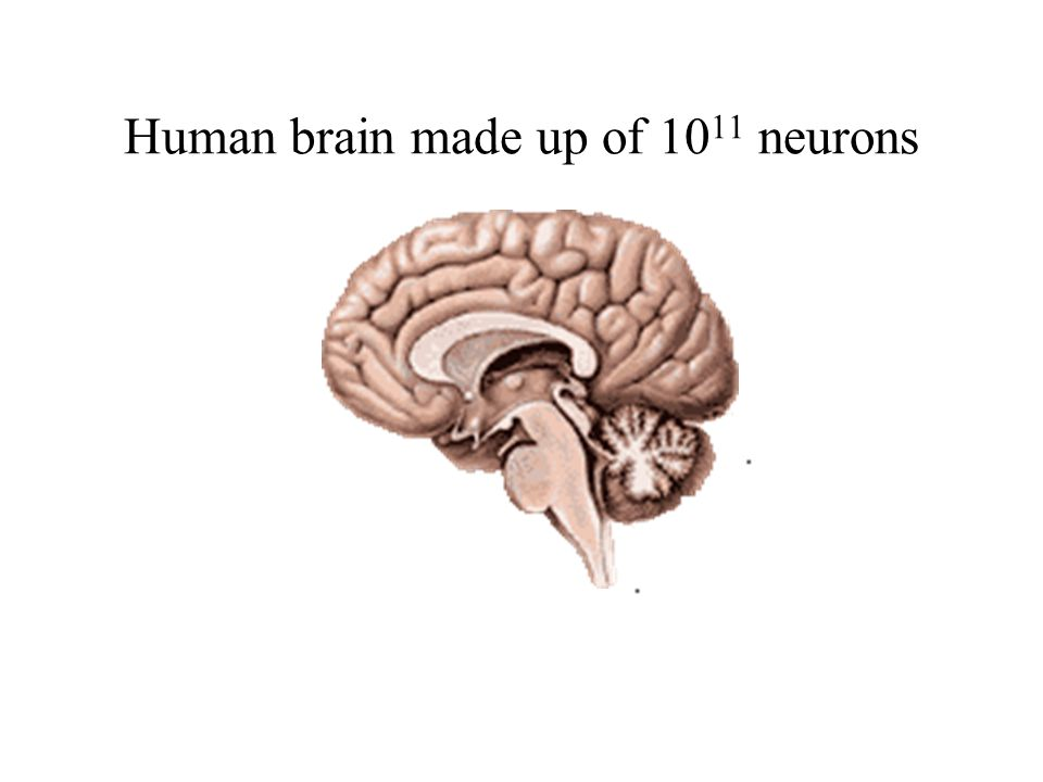 Human brain made up of 10 11 neurons