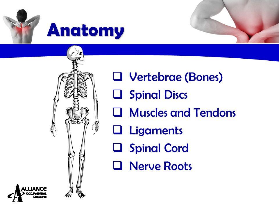 Anatomy  Vertebrae (Bones)  Spinal Discs  Muscles and Tendons  Ligaments  Spinal Cord  Nerve Roots