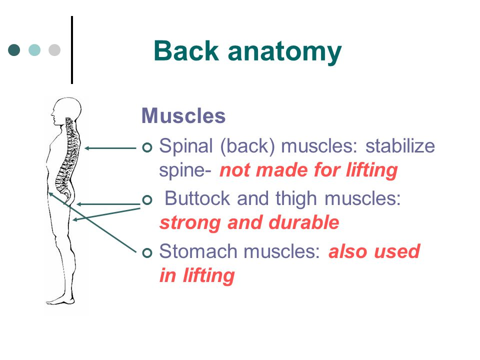 Back anatomy Muscles Spinal (back) muscles: stabilize spine- not made for lifting Buttock and thigh muscles: strong and durable Stomach muscles: also