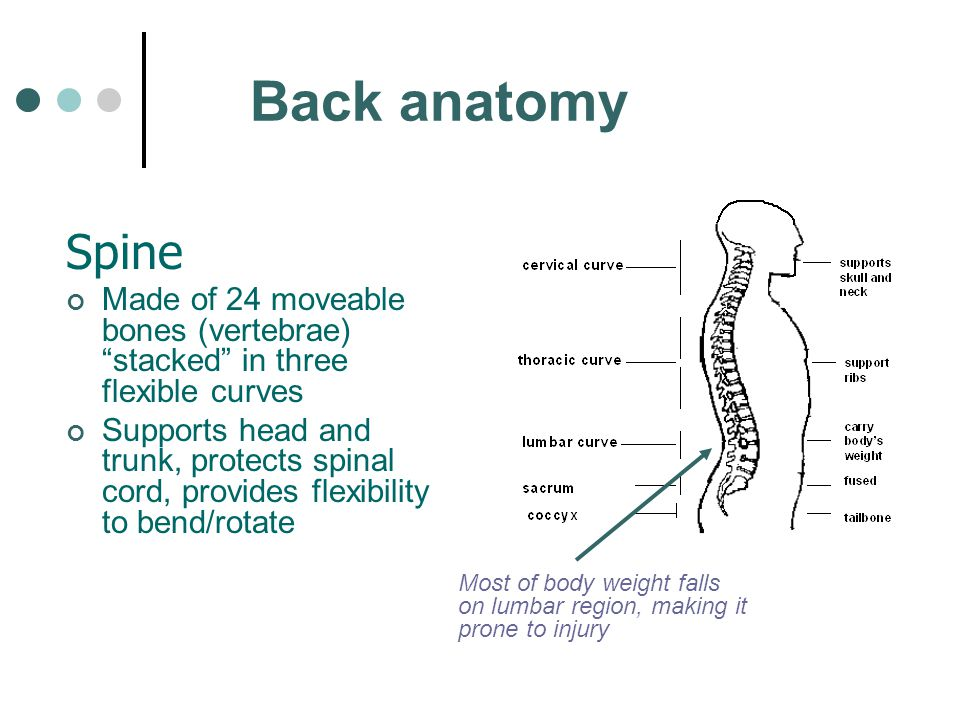 "Back anatomy Spine Made of 24 moveable bones (vertebrae) ""stacked"" in three flexible curves Supports head and trunk, protects spinal cord, provides fl"