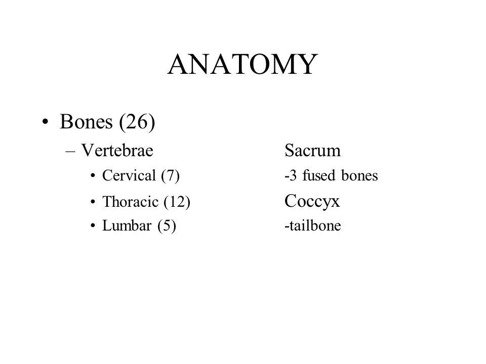 ANATOMY Bones (26) –VertebraeSacrum Cervical (7)-3 fused bones Thoracic (12) Coccyx Lumbar (5)-tailbone