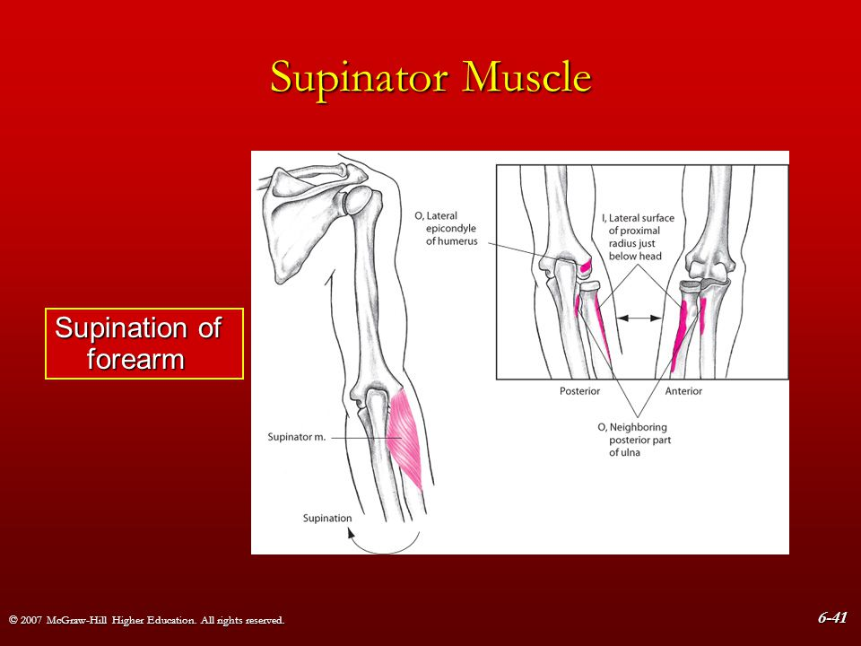 © 2007 McGraw-Hill Higher Education. All rights reserved. 6-41 Supinator Muscle Supination of forearm