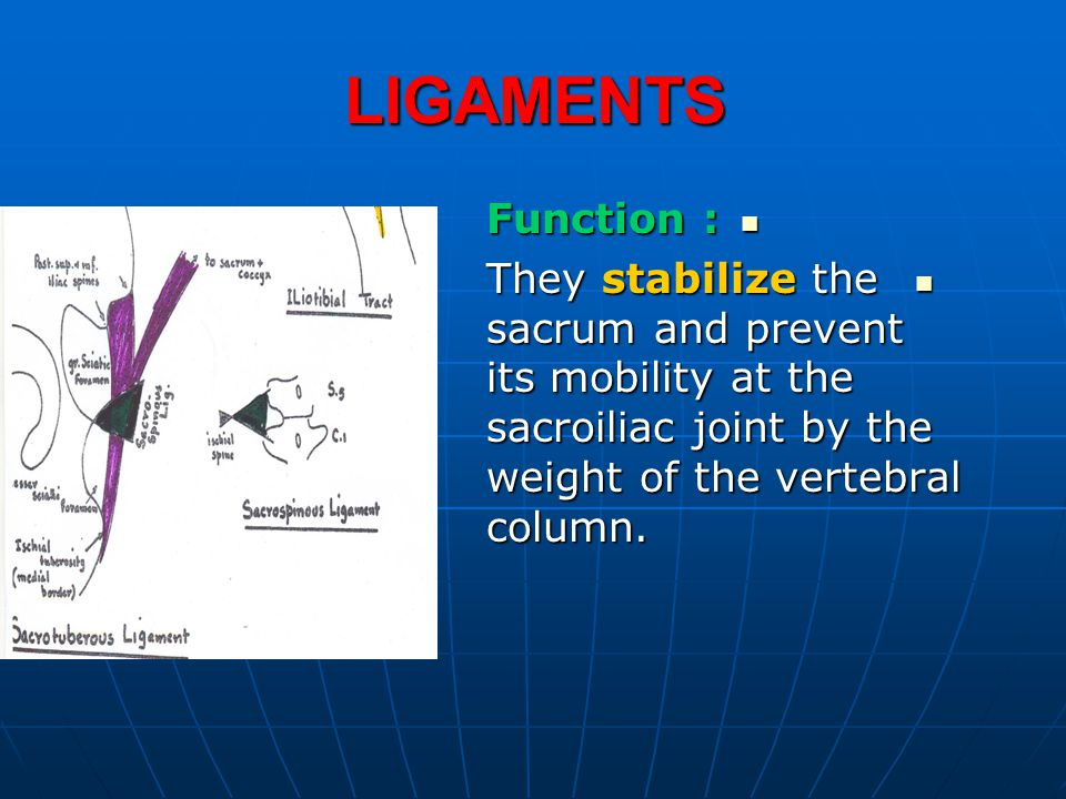 LIGAMENTS Function : Function : They stabilize the sacrum and prevent its mobility at the sacroiliac joint by the weight of the vertebral column. They