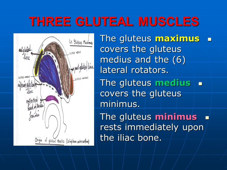 THREE GLUTEAL MUSCLES The gluteus maximus covers the gluteus medius and the (6) lateral rotators. The gluteus maximus covers the gluteus medius and th