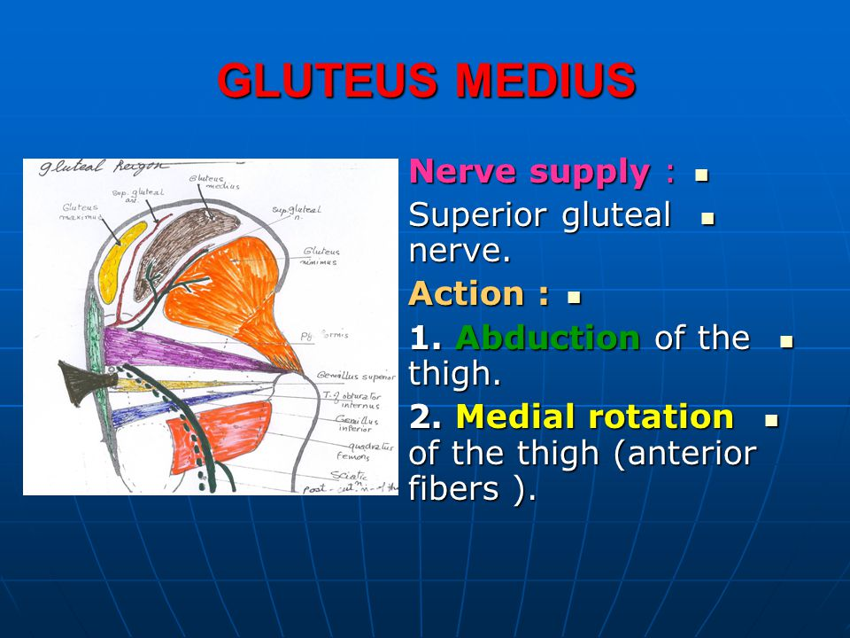 GLUTEUS MEDIUS Nerve supply : Nerve supply : Superior gluteal nerve. Superior gluteal nerve. Action : Action : 1. Abduction of the thigh. 1. Abduction