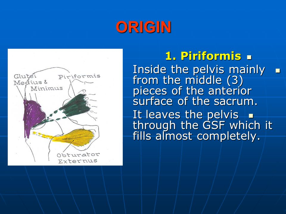 ORIGIN 1. Piriformis 1. Piriformis Inside the pelvis mainly from the middle (3) pieces of the anterior surface of the sacrum. Inside the pelvis mainly